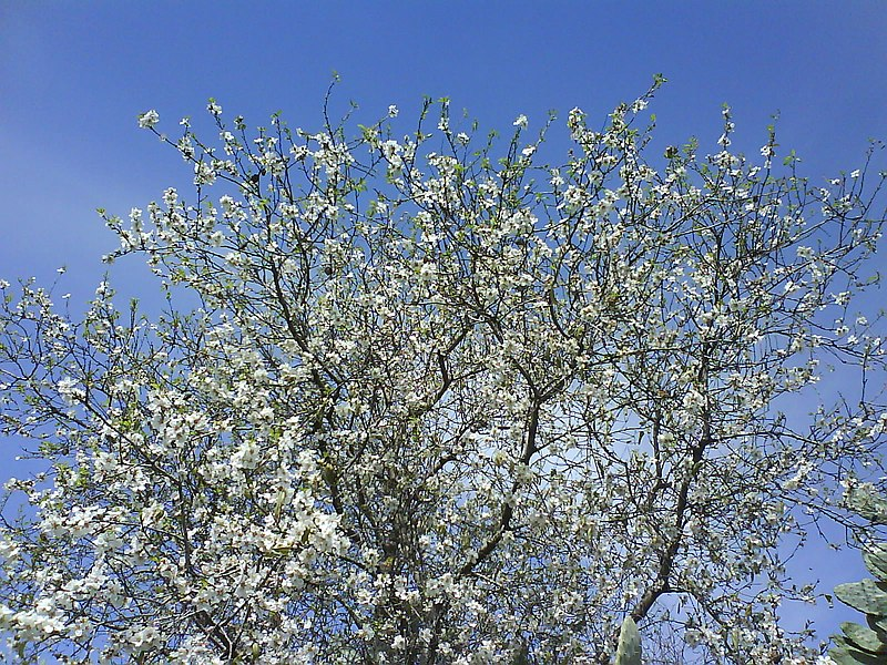 פרחי עץ השקד