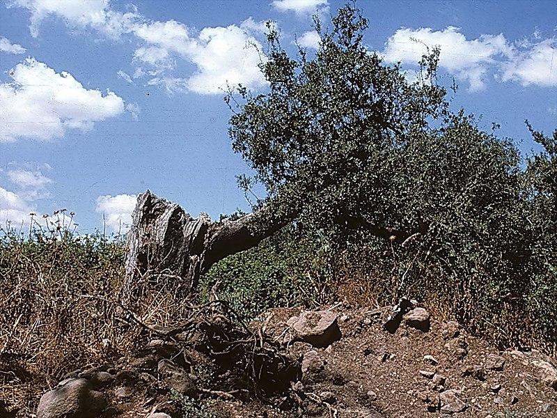 שרידי עץ האלון בתל דן