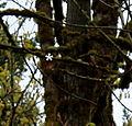 Pileated woodpecker (5814408198).jpg
