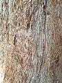 Pinales - Sequoiadendron giganteum - 8.jpg