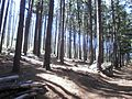 Pine Plantations at Newlands Forest - Cape Town 9.JPG