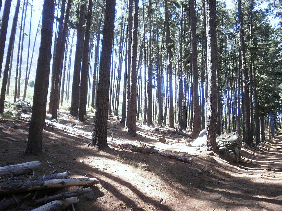 Pine Plantations at Newlands Forest - Cape Town 9