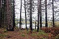 Pines at Seney National Wildlife Refuge (15274333310).jpg