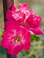 Pink flowers (9524901667).jpg
