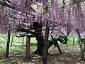 Pink wisteria in Kawachi Wisteria Garden 20150509.JPG