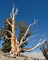 Pinus albicaulis McGee Pass.jpg