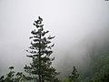Pinus hwangshanensis Lushan 1.jpg