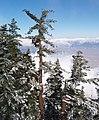 Pinus lambertiana SanJacinto2.jpg