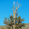 Pinus longaeva with moon.jpg