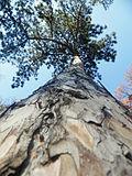 Pinus nigra (1111) 18.JPG