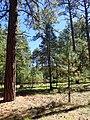 Pinus ponderosa subsp. brachyptera kz05.jpg