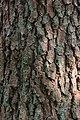 Pinus toecote Mexico 202006p1.jpg