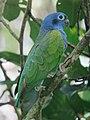 Pionus menstruus Cotorra cabeciazul Blue-headed Parrot (6456063869).jpg