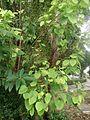 Pippal tree 2.jpg