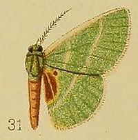 Pl.39-fig.31-Neurotoca endorhoda Hampson, 1910.JPG