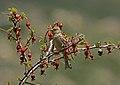 Plain Mountain Finch (Leucosticte nemoricola) (23618642140).jpg