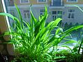 Plantago leiopetala, cultivated plants..jpg