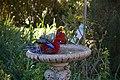 Platycercus elegans -Canberra, Australia -garden bird bath-8a (1).jpg