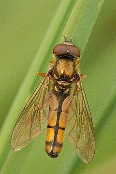 240px platycheirus.fulviventris. .lindsey