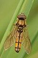 Platycheirus.fulviventris.-.lindsey.jpg