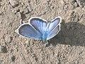 Plebejus argus ♂ - Silver-studded blue (male) - Голубянка аргус (самец) (40325249344).jpg