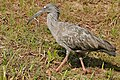 Plumbeous Ibis (Theristicus caerulescens) (31791553495).jpg