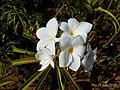 Plumeria frangipani flowers.jpg