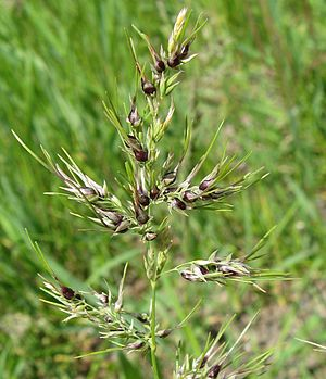 Apomixis - Vegetative apomixis in Poa bulbosa; bulbils form instead of flowers