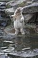 Polar Bear Knut @ Berlin Zoo in November 2007 01.jpg