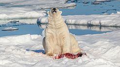 Polar bear (Ursus maritimus) assessing its environment for potential natural enemies.jpg