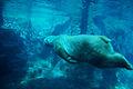 Polar bear swimming underwater (2987555976).jpg