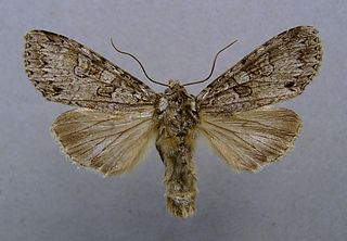 <i>Polia nebulosa</i> species of insect