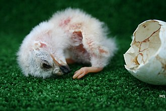 Modes of reproduction - The mode of reproduction in birds combines internal fertilisation with oviparous development. Here a Montagu's harrier chick has just hatched from its egg.