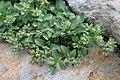 Polycarpon tetraphyllum kz3.jpg