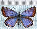 Polyommatus icarus-fo.jpg