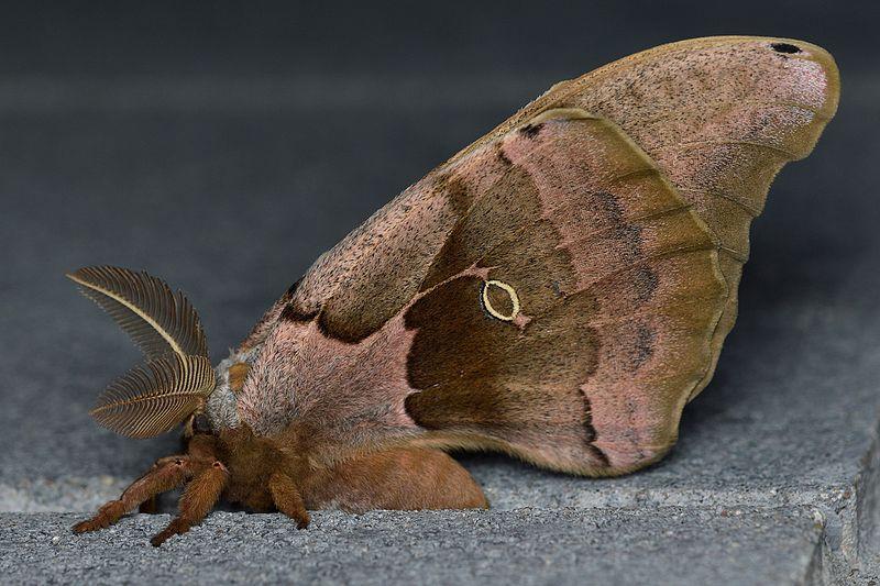 File:Polyphemus Moth (Antheraea polyphemus), Male - Guelph ...