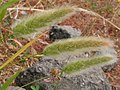 Polypogon monspeliensis 3881578658.jpg