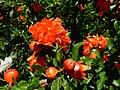 Pomegranate Flovers - panoramio.jpg