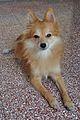 Pomeranian Dog - Kolkata 2011-10-31 6427.JPG