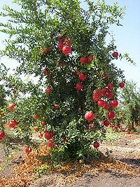 Pommegranate tree01.JPG