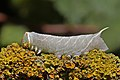 Poplar hawk-moth (Laothoe populi) late instar larva.jpg