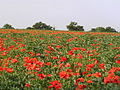 Poppies and Beans near Spetchley. - geograph.org.uk - 18220.jpg