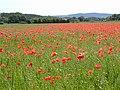 Poppy Field - geograph.org.uk - 129431.jpg