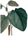Populus heterophylla by Pierre-Joseph Redouté.png