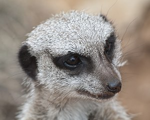 Head - The head of a meerkat