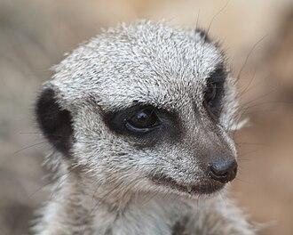 Head - The head of a meerkat