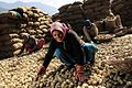 Potato harvest in Himachal Pradesh India 2011.jpg