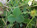 Potentilla sterilis leaf Bremgartenwald.JPG