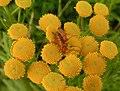 Prästbaggar (Rhagonycha fulva) parar sig på renfana (Tanacetum vulgare) i Väsmestorp, Sörby sn 3658.jpg