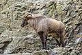 Prague 07-2016 Zoo img05 Hemitragus jemlahicus.jpg